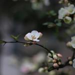 ぼけ(木瓜)Chaenomeles speciosa_9