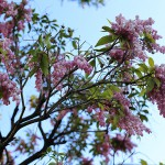 あせび (馬酔木)Pieris japonica_1