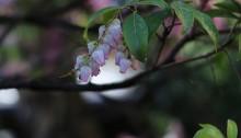 あせび (馬酔木)Pieris japonica_2
