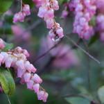 あせび (馬酔木)Pieris japonica_3