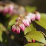 あせび (馬酔木)Pieris japonica_4