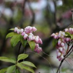 あせび (馬酔木)Pieris japonica_5