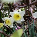 ラッパズイセン(喇叭水仙)Narcissus pseudonarcissus L_4
