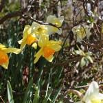 ラッパズイセン(喇叭水仙)Narcissus pseudonarcissus L_6
