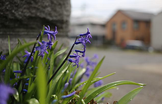 ヒヤシンス Hyacinthus orientalis_1