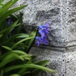ヒヤシンス Hyacinthus orientalis_2