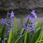 ヒヤシンス Hyacinthus orientalis_3