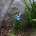 ヒヤシンス Hyacinthus orientalis_4