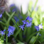 ヒヤシンス Hyacinthus orientalis_5