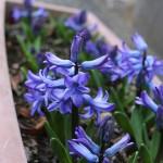 ヒヤシンス Hyacinthus orientalis_7