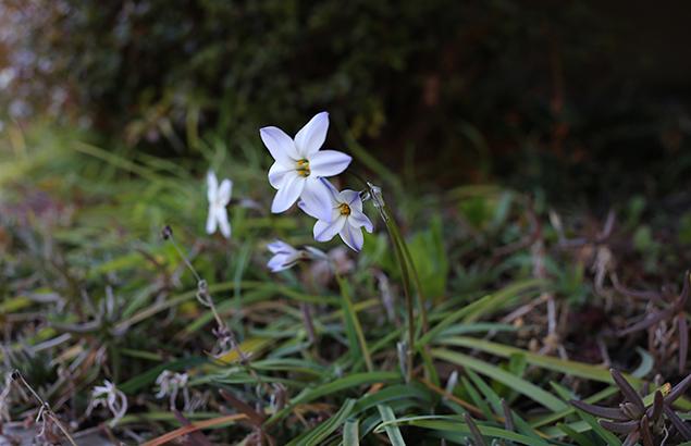 はなにら(花韮)Allium tuberosum_1(