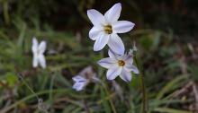 はなにら(花韮)Allium tuberosum_2(