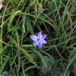 はなにら(花韮)Allium tuberosum_4(