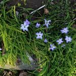 はなにら(花韮)Allium tuberosum_5(