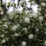 じんちょうげ(沈丁花)Daphne odora_1