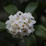 じんちょうげ(沈丁花)Daphne odora_2