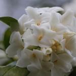 じんちょうげ(沈丁花)Daphne odora_4