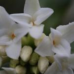 じんちょうげ(沈丁花)Daphne odora_5