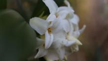 じんちょうげ(沈丁花)Daphne odora_6