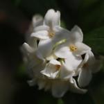じんちょうげ(沈丁花)Daphne odora_7