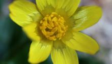 ひめりゅうきんか(姫立金花)Ranunculus ficaria L_2