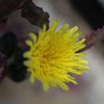 はるのげし(春野芥子)Sonchus oleraceus_6