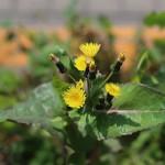 はるのげし(春野芥子)Sonchus oleraceus_1