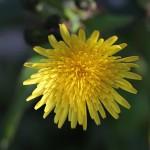 はるのげし(春野芥子)Sonchus oleraceus_2