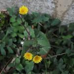 はるのげし(春野芥子)Sonchus oleraceus_3