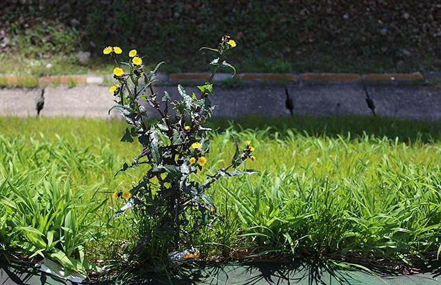 はるのげし(春野芥子)Sonchus oleraceus_5