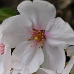 そめいよしの(染井吉野)Cerasus × yedoensis_a (8)