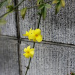 おうばい((黄梅)Jasminum nudiflorum_4