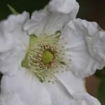 かじいちご(.構苺)Rubus trifidus_9