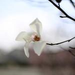 こぶし((辛夷 )Magnolia kobus_23