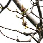 はくもくれん((白木蓮)Magnolia heptapera_13