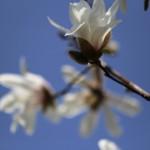 こぶし((辛夷 )Magnolia kobus_19