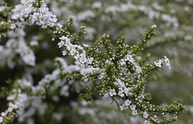 ゆきやなぎ 雪柳)Spiraea thunbergii_15