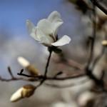 こぶし((辛夷 )Magnolia kobus_8