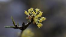 さんしゅゆ(山茱萸)Cornus officinalis_0_3