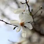 こぶし((辛夷 )Magnolia kobus_22