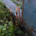 つくし 土筆(すぎな)Equisetum arvense_4