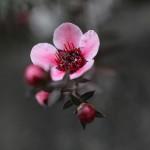 ぎょりゅうばい(檉柳梅)Leptospermum scoparium_3