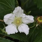 かじいちご(.構苺)Rubus trifidus_5