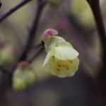 ひゅうがみずき(日向水木)Corylopsis pauciflora_3