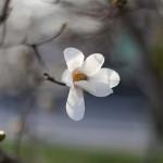 こぶし((辛夷 )Magnolia kobus_5
