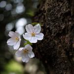 そめいよしの(染井吉野)Cerasus × yedoensis_a (6)
