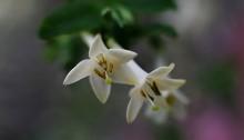 うぐいすかぐら〈白〉(鶯神楽)Lonicera gracilipes_5