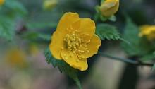 やまぶき(山吹)Kerria japonica_0_4