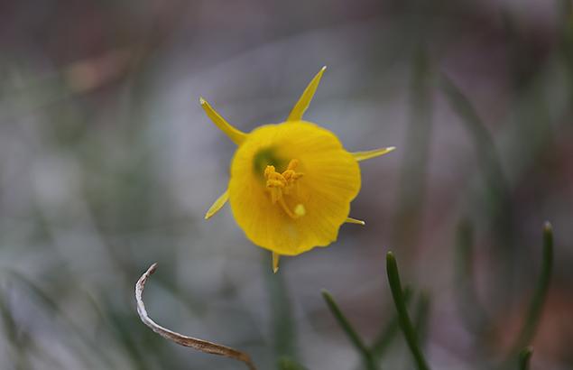ナルキッスス・フルボケディウム narcissus bulbocodium_3