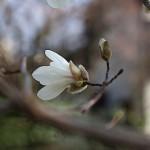 こぶし((辛夷 )Magnolia kobus_2